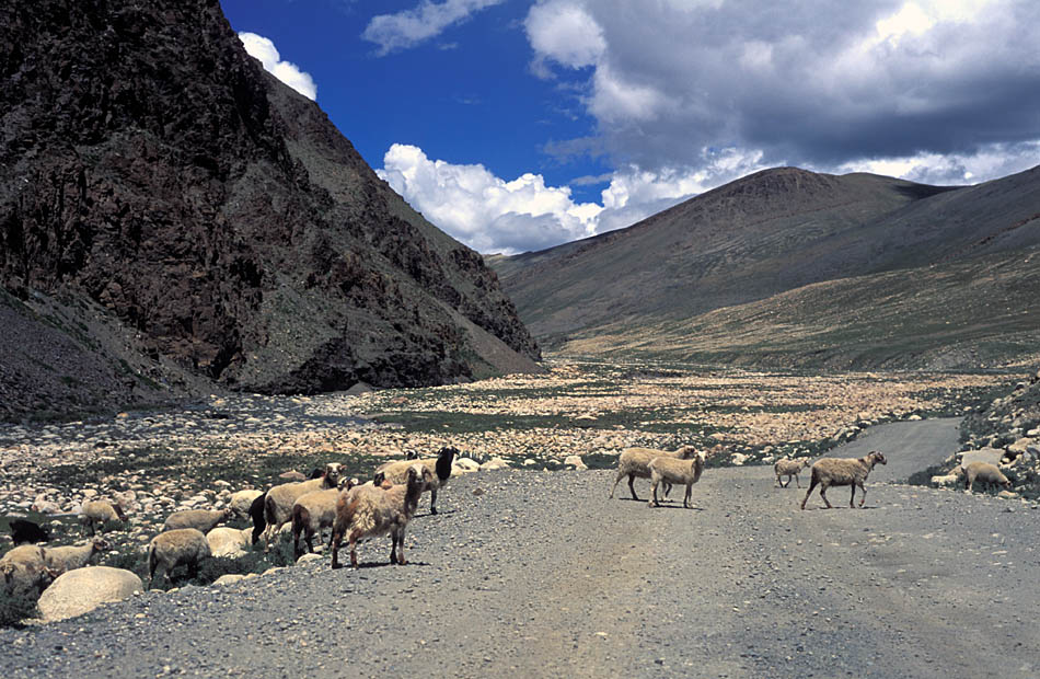 Album,Tibet,By,the,way,Sheeps,shafir,photo,image