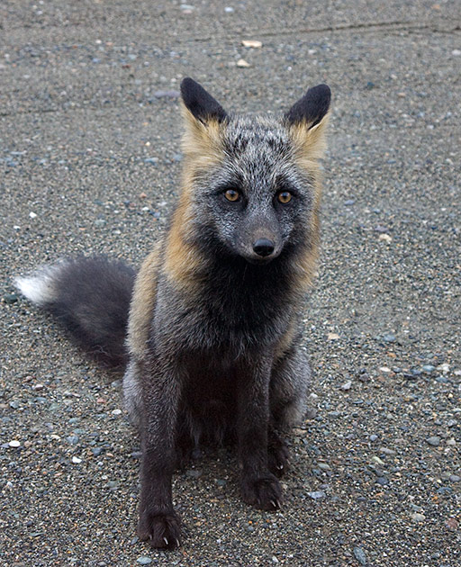 Album,Canada,Cassiar,Highway,Fox,shafir,photo,image