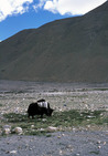 Album / Tibet / Everest Base Camp / Yak at 5200